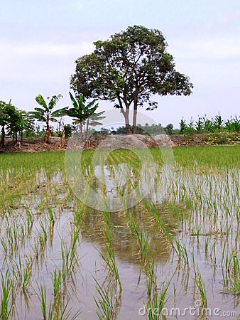 Beautiful rice field with trees as background
