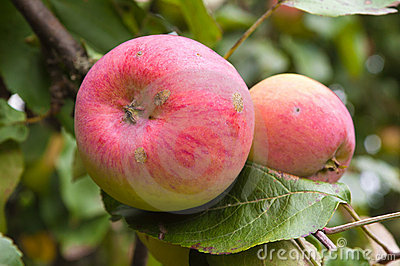 Beautiful ripe apples