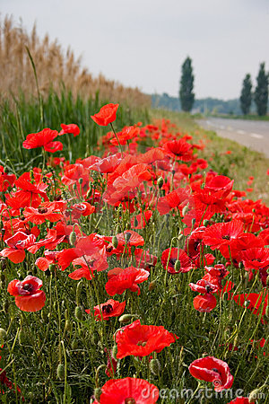 Beautiful roadside poppies