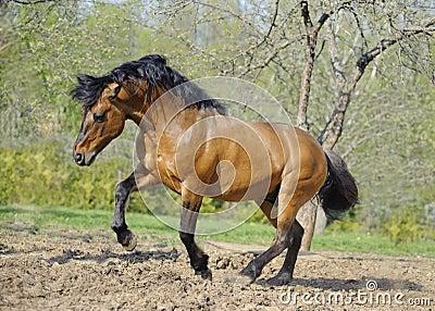 Beautiful roan stallion playing in the paddock