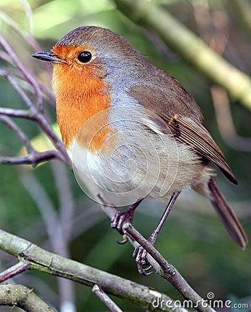 Free Beautiful Robin Stock Photo - 320610