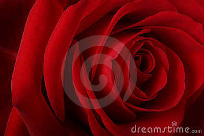 Beautiful romantic red rose