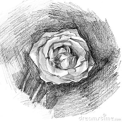 Beautiful rose charcoal artistic drawing