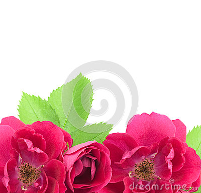 Beautiful Rose Flowers Background with copy space