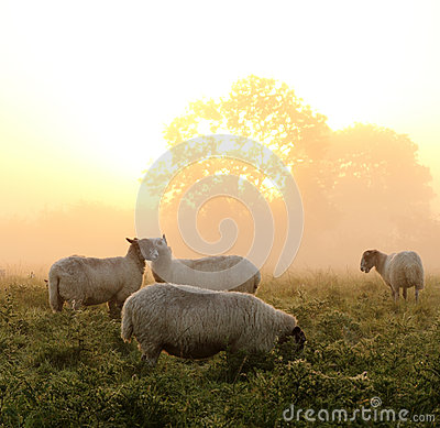 Beautiful Rural sunrise with sheep