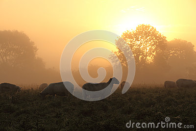 Beautiful Rural Sunset with Sheep