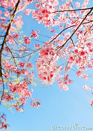 Free Beautiful Sakura Flower Cherry Blossom In Spring. Royalty Free Stock Photography - 110342917