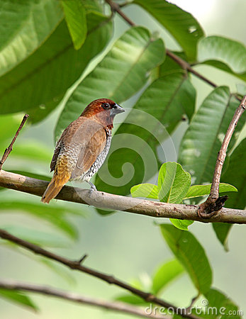 A beautiful scaly-breasted Munia