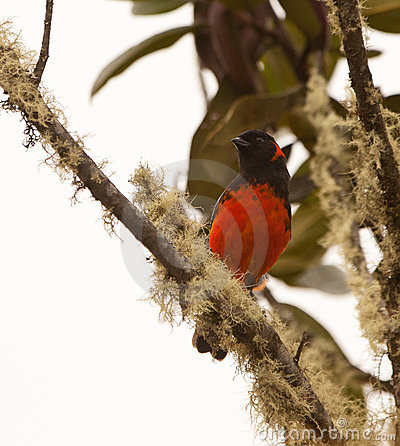 A beautiful Scarlet-Bellied Mountain Tanager