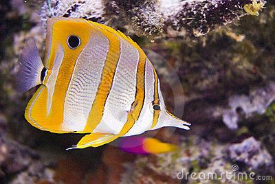 Beautiful Fish Pictures on Beautiful Sea Fish Royalty Free Stock Image   Image  6745566