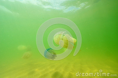 Beautiful sea jellyfish floating in the sea of Thailand, Underwa