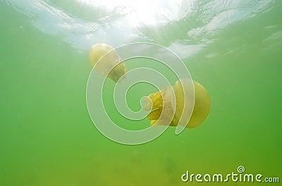 Beautiful sea jellyfish floating in the sea of Thailand, Underwa