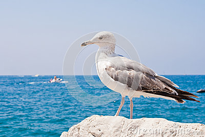 Beautiful seagull rests alone on the stone