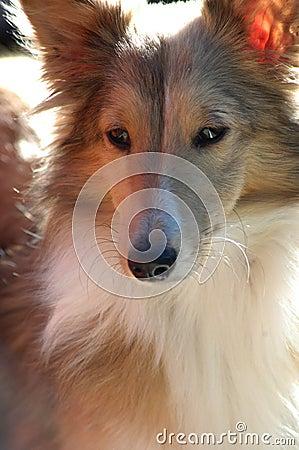 Free Beautiful Sheltie Sable  Dog Stock Photos - 391813