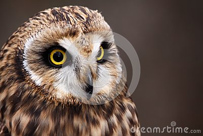 Beautiful Short-eared Owl Perching