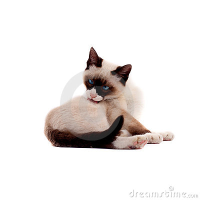 Beautiful siamese cat peting itself