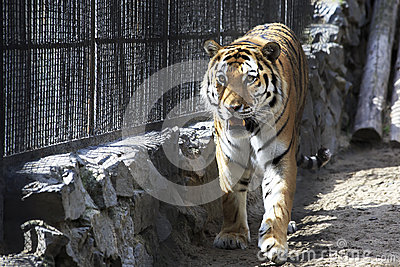 Beautiful siberian tiger in a cage stock images image 38178554 - Tiger in cage images ...