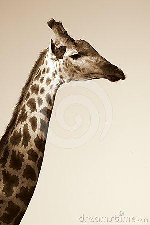 A beautiful side profile of a giraffe