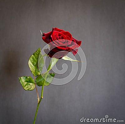 Free Beautiful  Single Dark Red Rose Stock Image - 114414951