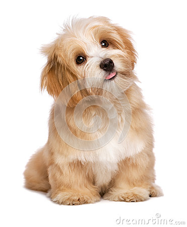 Free Beautiful Sitting Reddish Havanese Puppy Dog Is Looking Upward Stock Photos - 46868523