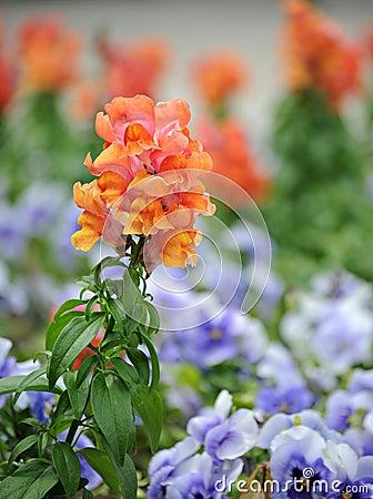 Antirrhinum majus (snapdragon) flower