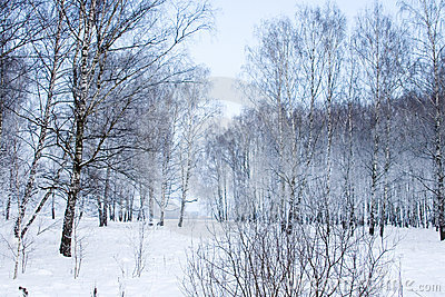Beautiful snow-covered birch forest