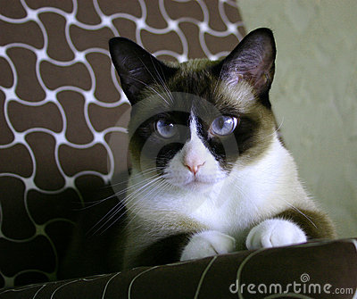 Beautiful snow-footed Siamese cat
