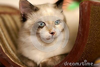 Beautiful snowshoe-ragdoll kitten
