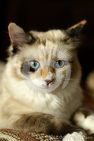 Beautiful snowshoe-ragdoll kitten