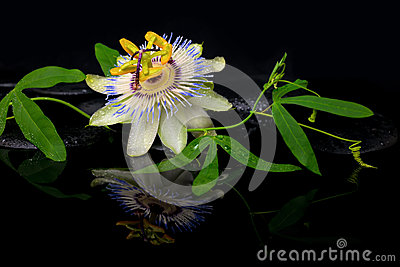 Beautiful spa still life of passiflora flower and green branch