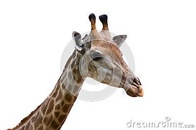 Beautiful specimen of a mature giraffe i