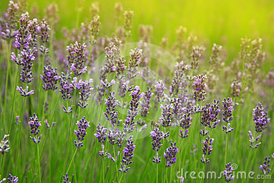 Beautiful sprigs of lavender