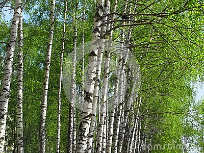 Beautiful spring birch