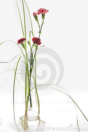 Free Beautiful Spring Carnation Stock Photos - 8429133