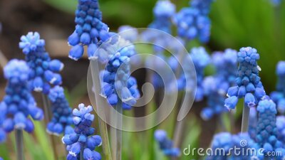 Close-up of a flower Muscari first blue spring flower stock video footage