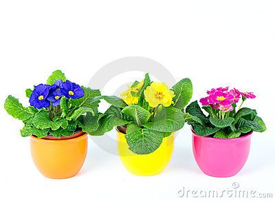Beautiful spring primula flowers