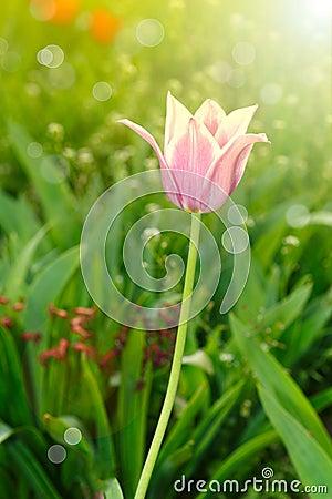 Free Beautiful Spring Tulip In The Sun Stock Photo - 40192430