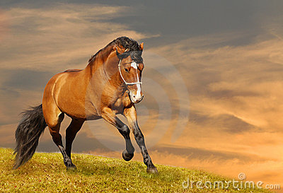 Beautiful stallion galloping