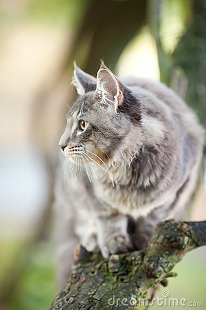Beautiful striped maine coon cat