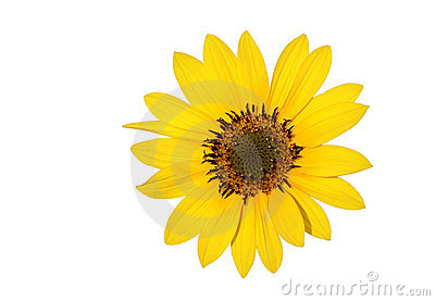 A beautiful Sun flower