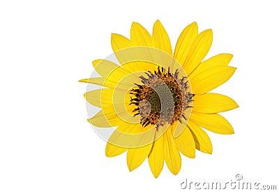 A beautiful Sun flower