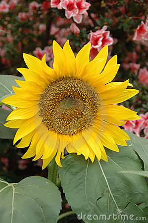 BEAUTIFUL SUNFLOWER Close up of a