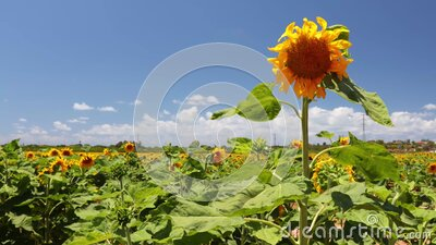 Beautiful Sunflowers field on bright summer day stock video footage