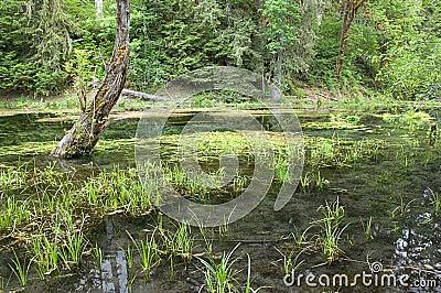Beautiful Swamp Marsh Photo Hoh National Park
