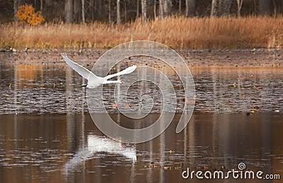 Beautiful swan flying