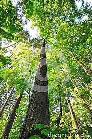 Free Beautiful Tall Trees Of Oregon Royalty Free Stock Photos - 22538928