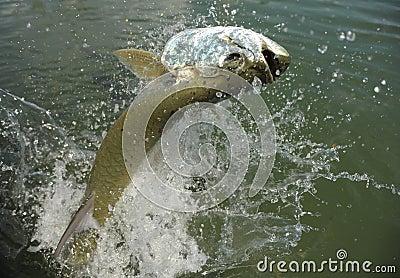 Beautiful tarpon fish jumping out of water