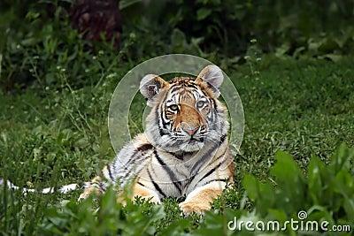 Beautiful Tiger Cub
