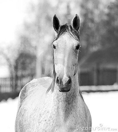 Beautiful Trakehner horse