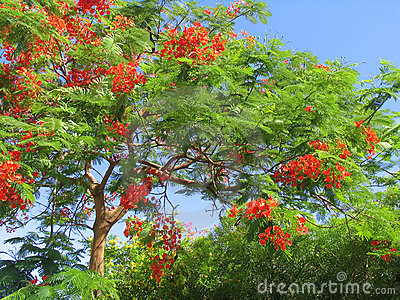 Beautiful tropical tree in blossom